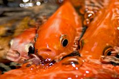 Koi fish stock image