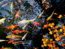 Koi fish. Swimming in pond with bright colors stock image