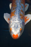 Koi Fish. A koi fish near the surface of the water royalty free stock images