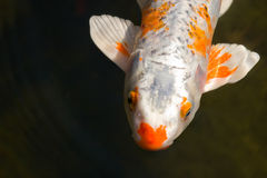Koi Fish. A koi fish near the surface of the water stock photo