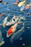 Koi fish. Colorful ornamental koi fish in pond Stock Photos