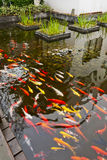 Koi Fish. Many Red and yellow Koi Fish in water stock images