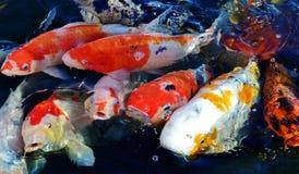 Koi fish. Colorful ornamental koi fish in pond Stock Photography