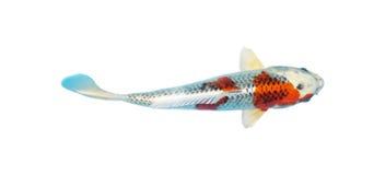 Koi fish. Japanese koi fish isolated on a white background stock photo