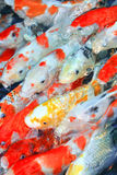 Koi fish Stock Image