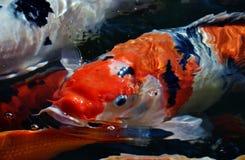 Koi fish. Colorful ornamental koi fish in pond Royalty Free Stock Image