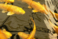 Koi fish. Golden yellow Koi fish swimming with reflections on water surface Stock Image