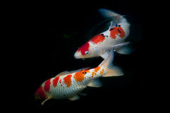 Koi fish. On black background stock photo