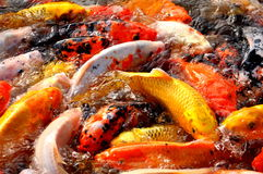 Koi fish. Colorful Japanese Koi fish carp during a feeding frenzy Royalty Free Stock Photography