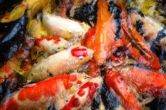 Koi Fish Royalty-vrije Stock Fotografie