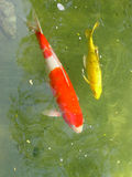 Koi fish. Two koi fishes swimming in a pond. They are bred as pets, for decoration or by fengshui enthusiasts stock photo