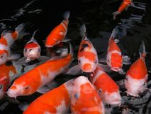 Koi fish. Waiting to be fed Stock Photography