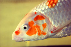 A koi fish Royalty Free Stock Photography