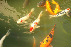 Koi fish Royalty Free Stock Images