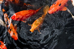 Koi fish. Colored koi fish in a pond royalty free stock photos