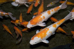Koi fish. Colorful Koi or carp chinese fish in water royalty free stock photo