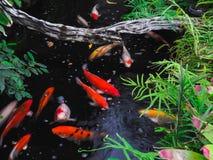 Koi Fish Royalty-vrije Stock Afbeelding