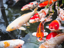 Koi Fish Immagine Stock