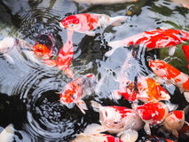 Koi Fish Fotografie Stock