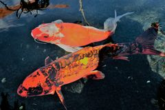 2 Koi Fish royaltyfri bild