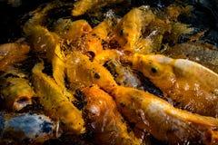 Koi Fish affamé énorme Photos libres de droits