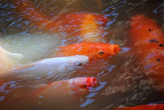 Koi Fish anaranjado y blanco Fotos de archivo