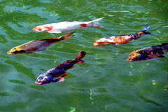 Koi. Fish Animal Free Natural Gardens Pond GO fishing Lie fallow HolidaysEnvironmental protection stock image