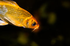 Koi fish in an aquarium Royalty Free Stock Photos