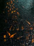 Koi Fish arancio in stagno asiatico immagini stock