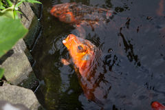 Koi Fish asking for food. Red color scale koi fish in pond asking for food Royalty Free Stock Photography