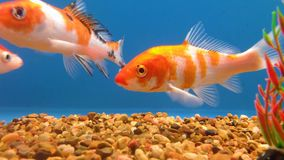 Koi Fish assorti clips vidéos