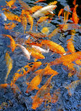 Koi fish background. Hungry koi fish in a zen garden pond stock photography