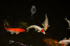Koi fish. With black background royalty free stock photo