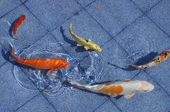 Koi fish in a blue pool. A school of koi fish in a pool - the colours are incredible Royalty Free Stock Photography