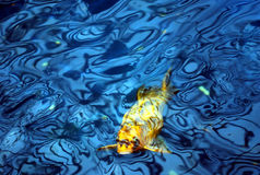 Koi fish in blue water. A yellow black stripes koi carp fish in a blue water royalty free stock images