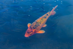 Koi fish. In blue water Stock Photo