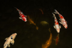Koi Fish. Bunch of koi fish swimming in a pond with black background Royalty Free Stock Photo