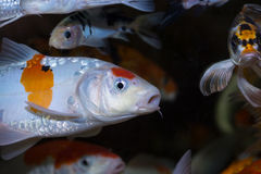 Koi fish close up Royalty Free Stock Photos