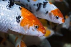 Koi fish close up Stock Images