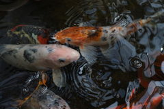 Koi fish clustered at the ponds surface Stock Images