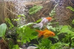 Gold koi fish isolated on black background. stock images