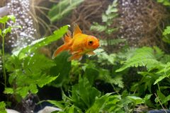Gold koi fish isolated on black background. stock photos