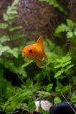 Gold koi fish isolated on black background. royalty free stock photography