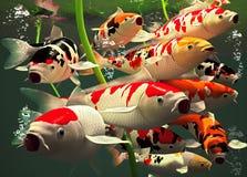Koi Fish. Colorful Koi fish carp in a pond Stock Photos