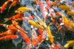 Koi fish. Colorful fancy carp fish, koi fish Stock Photos