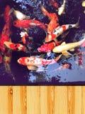 Koi fish, colorful fancy carp fish Royalty Free Stock Photos