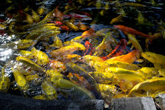 KOI FISH. Colorful of life. Koi fish pond in Jogjakarta, Indonesia Stock Images