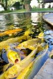 KOI FISH. Colorful of life. Koi fish pond in Jogjakarta, Indonesia Stock Photo