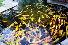 KOI FISH. Colorful of life. Koi fish pond in Jogjakarta, Indonesia Royalty Free Stock Image