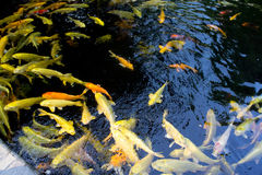 KOI FISH. Colorful of life. Koi fish pond in Jogjakarta, Indonesia Stock Image